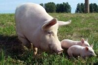 В Швеции вместо говядины продавали крашеную свинину
