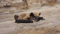 В Саяно-Шушенском заповеднике обнаружено ещё семь видов летучих мышей