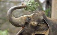 В зоопарке немецкого города Дрезден слоны полакомились елками