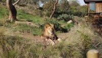Популяция львов в Африке сократилась за полвека почти в 13 раз