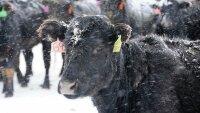 Американцы заинтересованы в ферме по разведению скота в Забайкалье