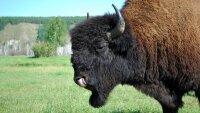 Перевозка из Канады 30 бизонов обойдется Якутии минимум в 13 млн руб