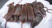 Японцы сделали 600 клонов одной мыши