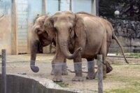 Слонов-туберкулезников спасли от эвтаназии