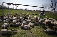 Овцы -хранителями лесов в Каталонии