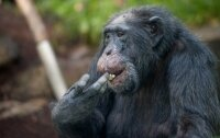 Шимпанзе сделали  лестницу и сбежали из зоопарка